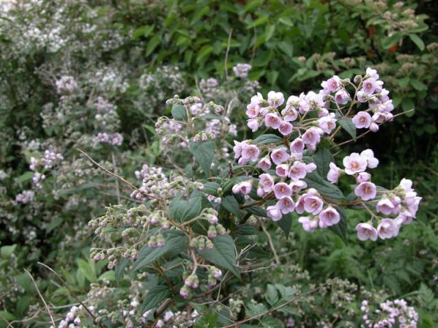 Deutzia compacta 'Lavender Time' Deutzia-compacta-Lavender-Time-des-fleurs-Medium-